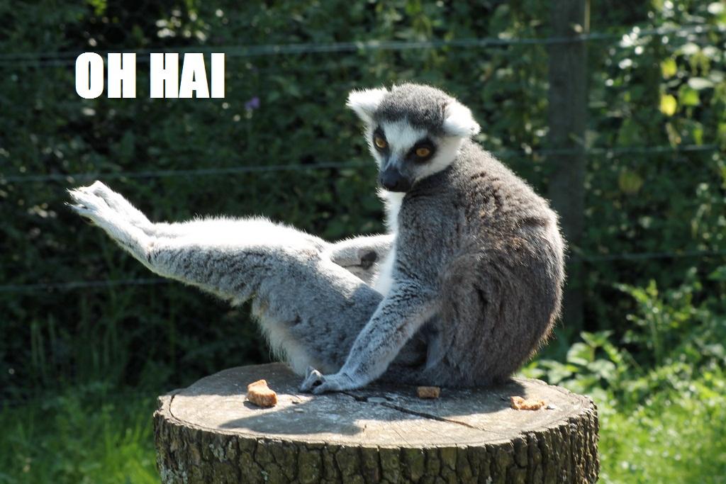oh hai lemur lemur memes the real sasha